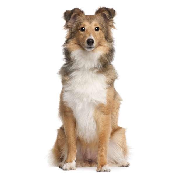 Cane da pastore scozzese shetland