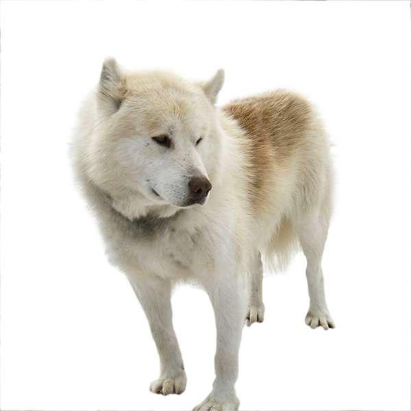 Iceland dog- cane da pastore di islanda