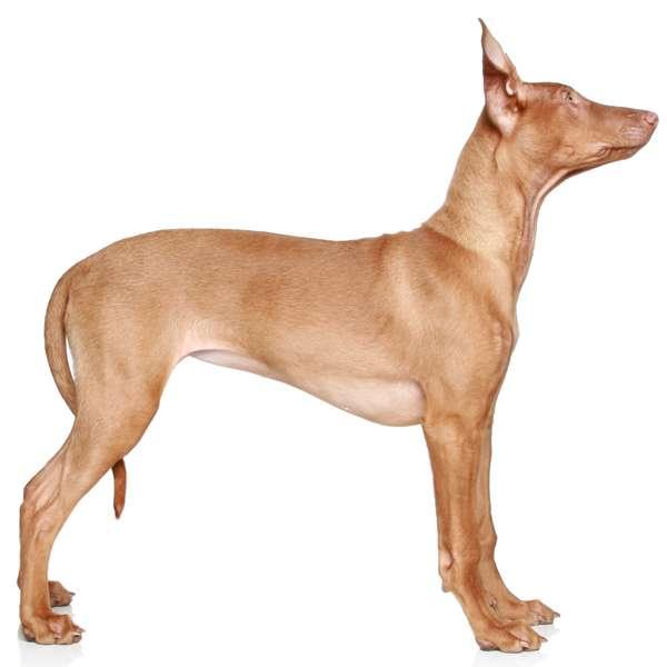 Pharaon hound