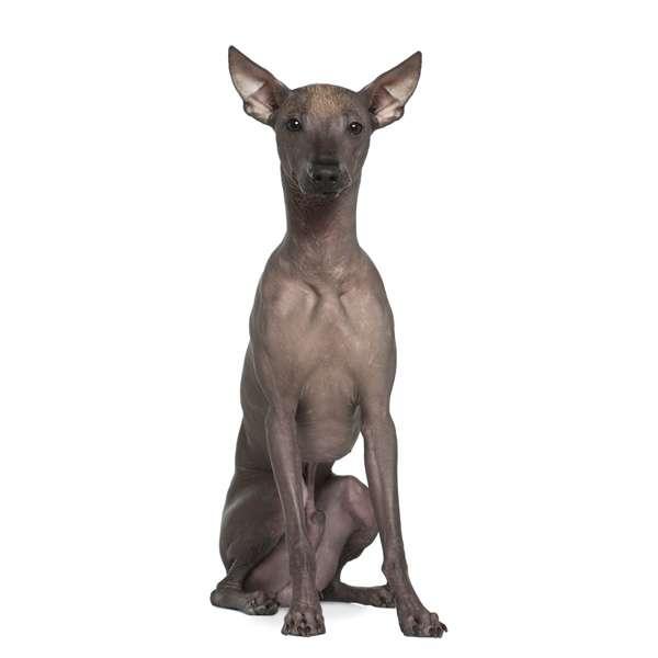 Perro sin pelo del peru'