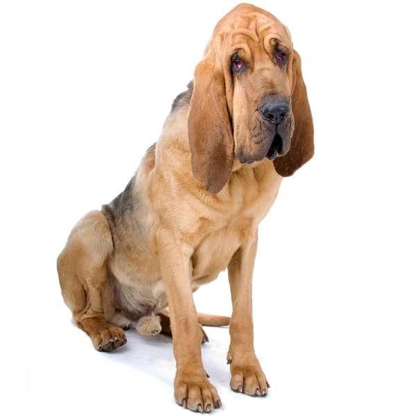 Bloodhound chien de saint-ubert