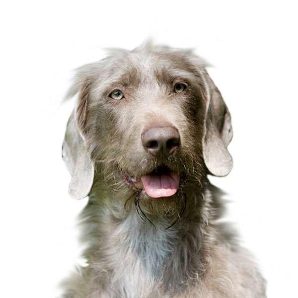 Cane da ferma slovacco a pelo duro