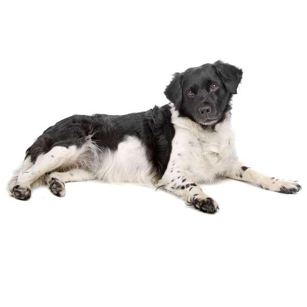 Stabyhound