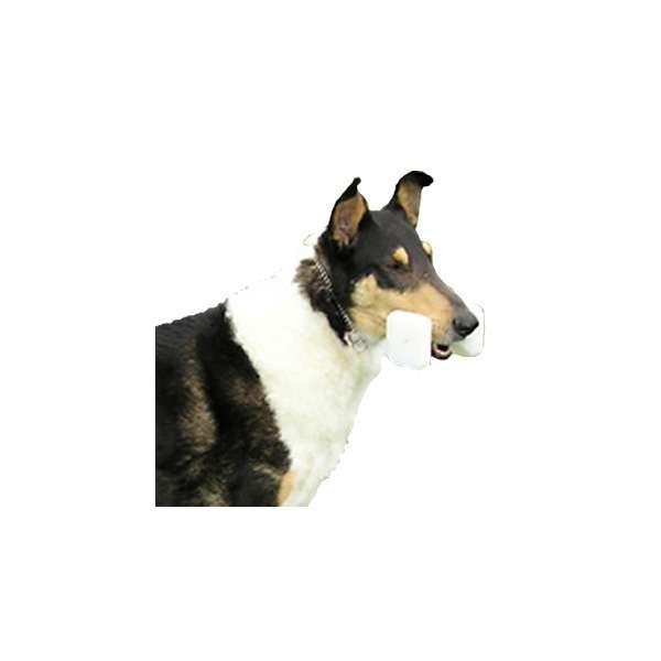 Cane da pastore scozzese a pelo corto