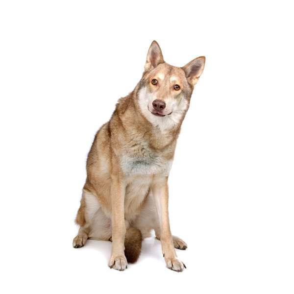 Cane da lupo saarloos