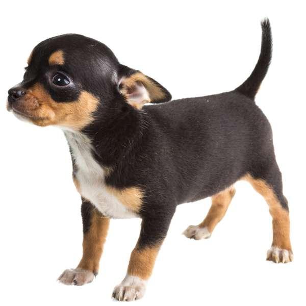 Top 10 delle razze di cani pi piccole for Nomi per cani taglia piccola