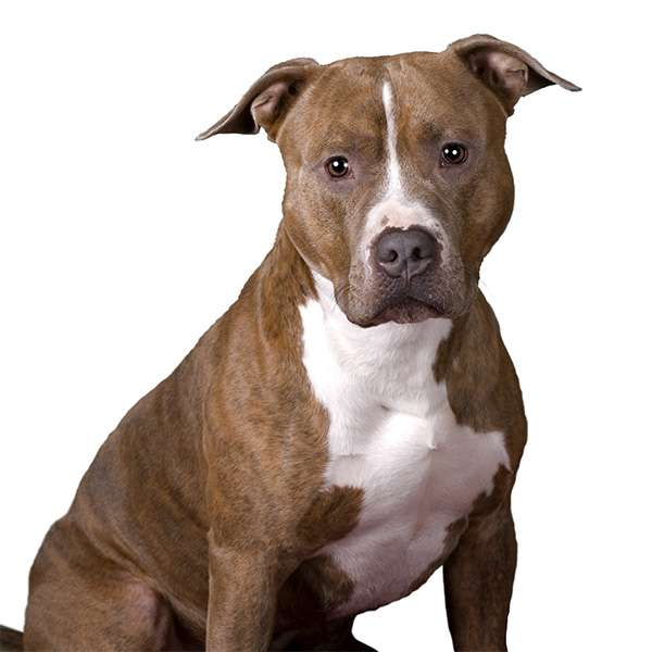 American Pit Bull Terrier - Pit Bull - scheda cane