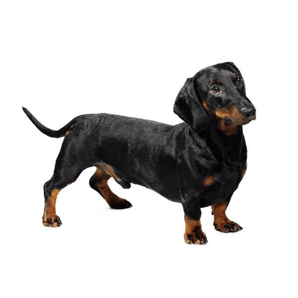 Razza cane bassotto tedesco for Bassotto cane