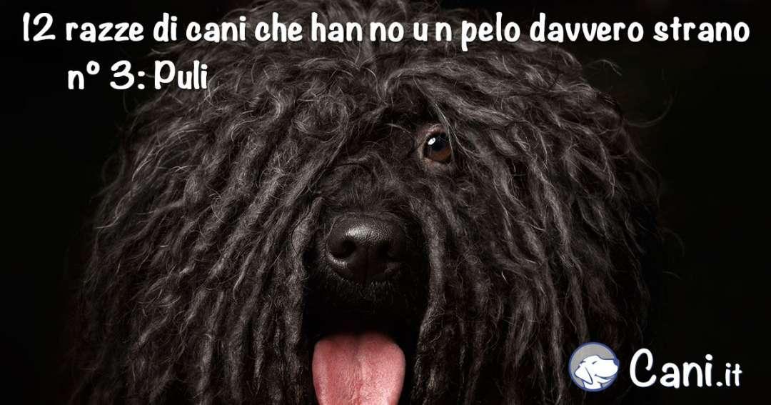 Rastafarian Dog Breed