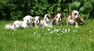 Come scegliere un cucciolo di Bulldog inglese