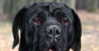 Patologie oculari del cane: Ectropion