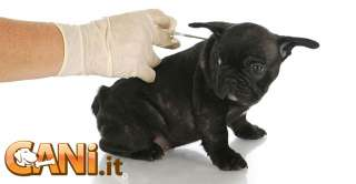 Parvovirosi nei cani, sintomi, cause, prevenzione e cure