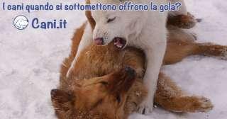 È vero che un cane offre la gola al suo avversario
