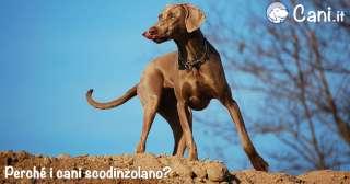 Perché i cani scodinzolano?