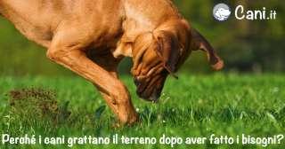 Perché i cani grattano il terreno dopo aver fatto i bisogni?