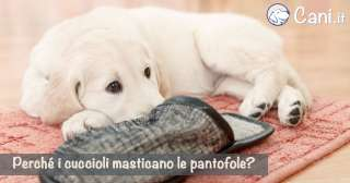 Perché i cuccioli masticano le pantofole?
