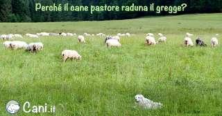 Perché il cane pastore raduna il gregge?