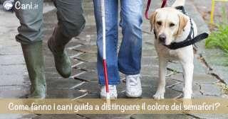Come fanno i cani per non vedenti e sapere quando la luce del semaforo è verde?