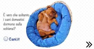 È vero che soltanto i cani domestici dormono sulla schiena?