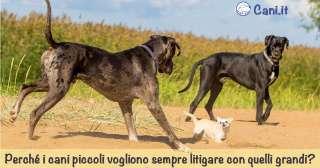 Perché i cani piccoli vogliono sempre litigare con quelli grandi?