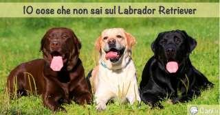 10 cose che non sai sul Labrador Retriever