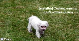 Malattia del cushing canino: cos'è e come si cura
