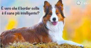 È vero che il border collie è il cane più intelligente?