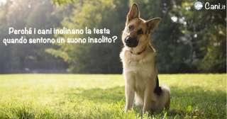 Perché i cani inclinano la testa quando sentono un suono insolito?