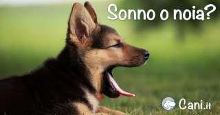 Se i cani fanno uno sbadiglio, hanno sonno o sono annoiati?