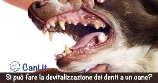 Si può fare la devitalizzazione dei denti a un cane?