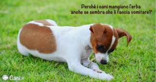 Perché i cani mangiano l'erba?