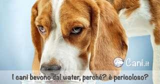 Perché i cani bevono dal water? è pericoloso?