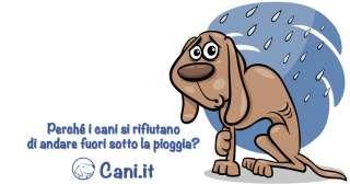 Perché i cani si rifiutano di andare fuori sotto la pioggia?