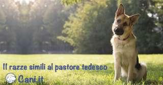 10 razze simili al Pastore Tedesco