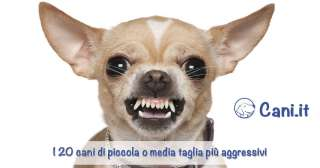 I 20 cani di piccola o media taglia più aggressivi