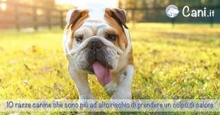 10 razze canine che sono più ad alto rischio di prendere un colpo di calore