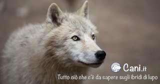 Tutto ciò che c'è da sapere sugli ibridi di lupo