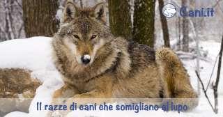 11 razze di cani che somigliano al lupo