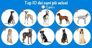 Top 10 dei cani più veloci