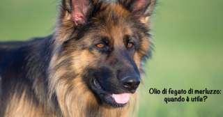 Olio di fegato di merluzzo nel cane: quando è utile?