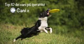 Top10 Cani più iperattivi