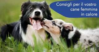 Consigli per il vostro cane femmina in calore