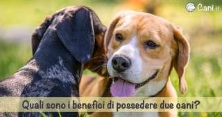Quali sono i benefici di possedere due cani?