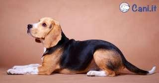 Cosa bisogna sapere prima di prendere un beagle