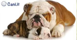 5 cose da considerare prima di adottare un Bulldog inglese