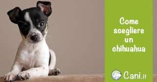 Come scegliere un Chihuahua