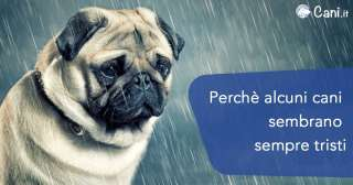 Perché alcuni cani sembrano sempre tristi