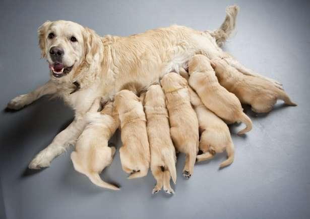 Сука Золотой ретривер с щенками. животное,сука,кормим грудью,грудное вскарм