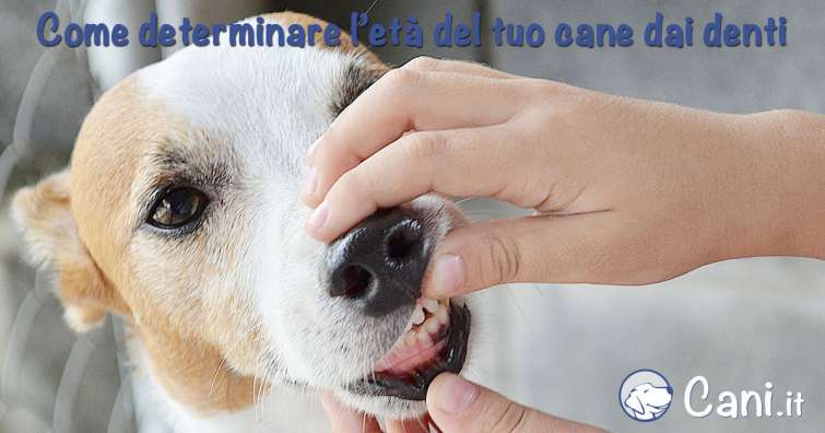 Come determinare l'età del cane