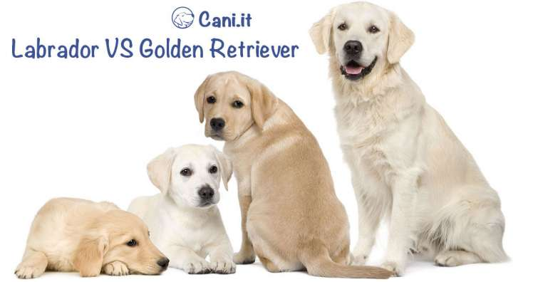 Razze A Confronto Labrador E Golden Retriever